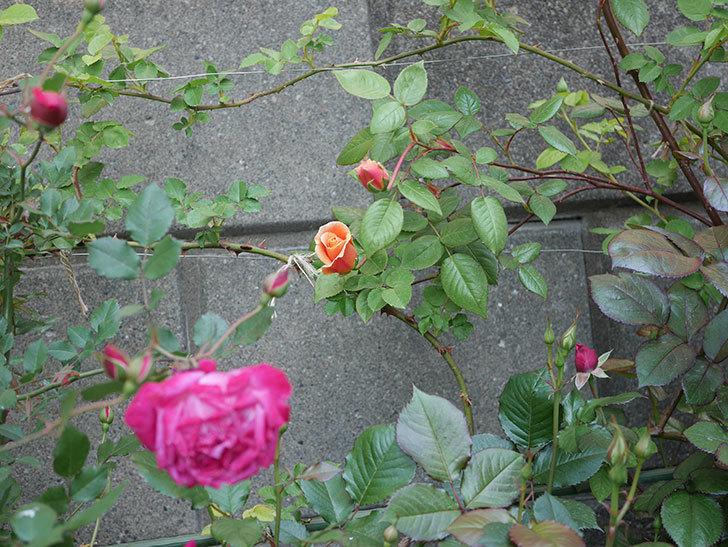 ロイヤルサンセット(ツルバラ)の花が少し咲いた。2020年-10.jpg