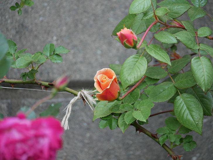 ロイヤルサンセット(ツルバラ)の花が少し咲いた。2020年-2.jpg