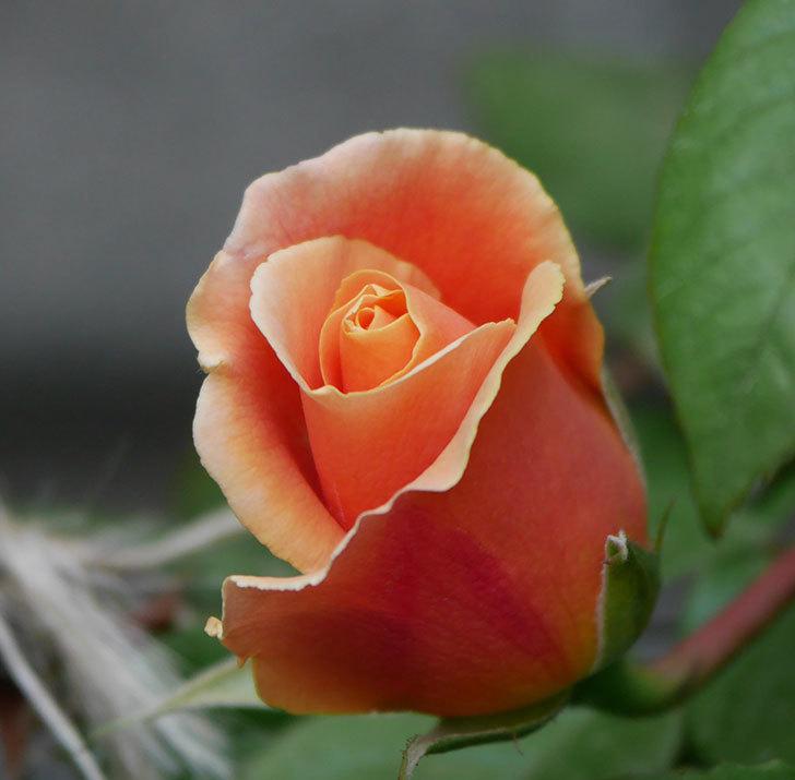 ロイヤルサンセット(ツルバラ)の花が少し咲いた。2020年-3.jpg