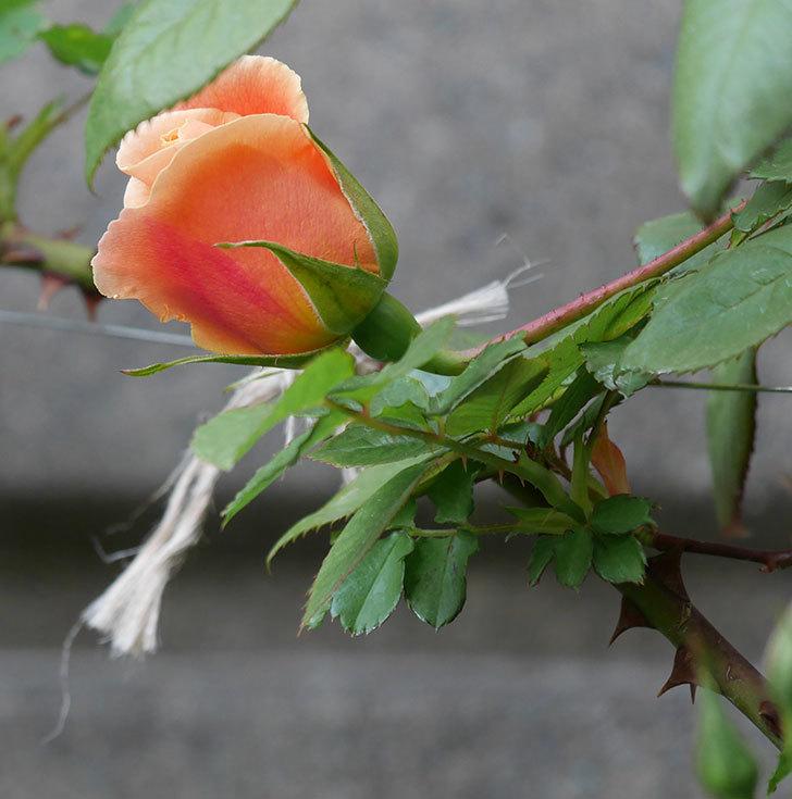 ロイヤルサンセット(ツルバラ)の花が少し咲いた。2020年-4.jpg