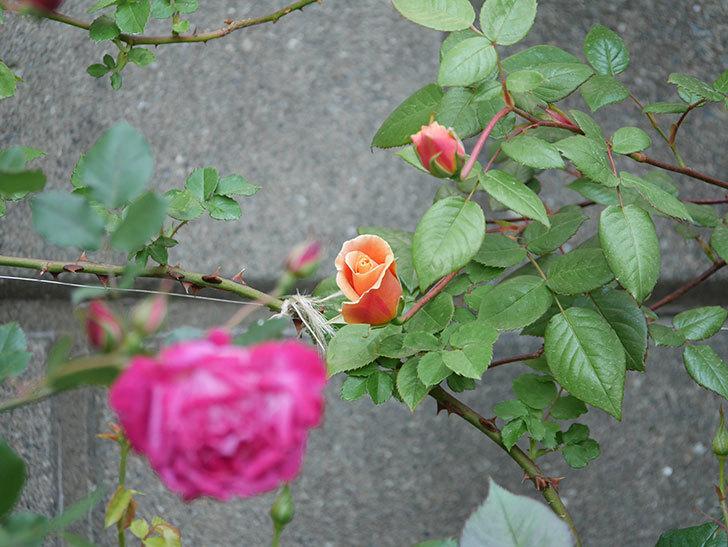ロイヤルサンセット(ツルバラ)の花が少し咲いた。2020年-5.jpg