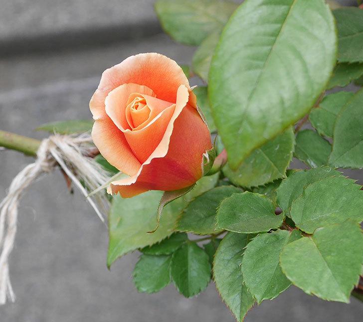 ロイヤルサンセット(ツルバラ)の花が少し咲いた。2020年-7.jpg