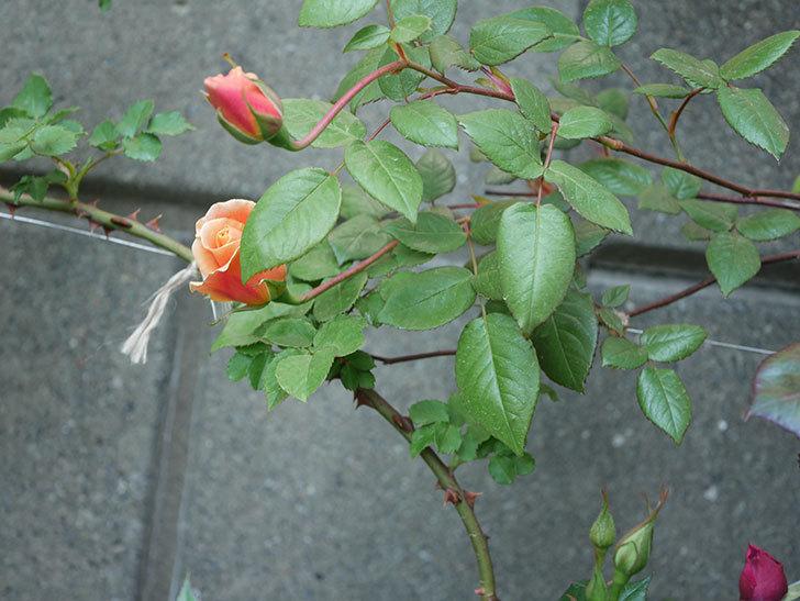 ロイヤルサンセット(ツルバラ)の花が少し咲いた。2020年-9.jpg