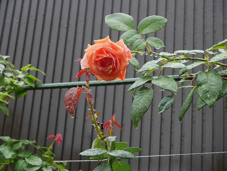 ロイヤルサンセット(Royal Sunset)の2番花が咲いた。ツルバラ。2020年-001.jpg