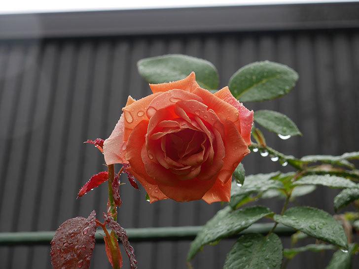 ロイヤルサンセット(Royal Sunset)の2番花が咲いた。ツルバラ。2020年-003.jpg
