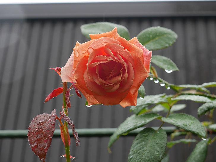 ロイヤルサンセット(Royal Sunset)の2番花が咲いた。ツルバラ。2020年-004.jpg