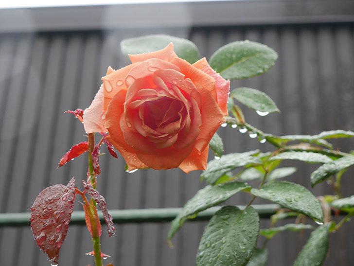 ロイヤルサンセット(Royal Sunset)の2番花が咲いた。ツルバラ。2020年-005.jpg