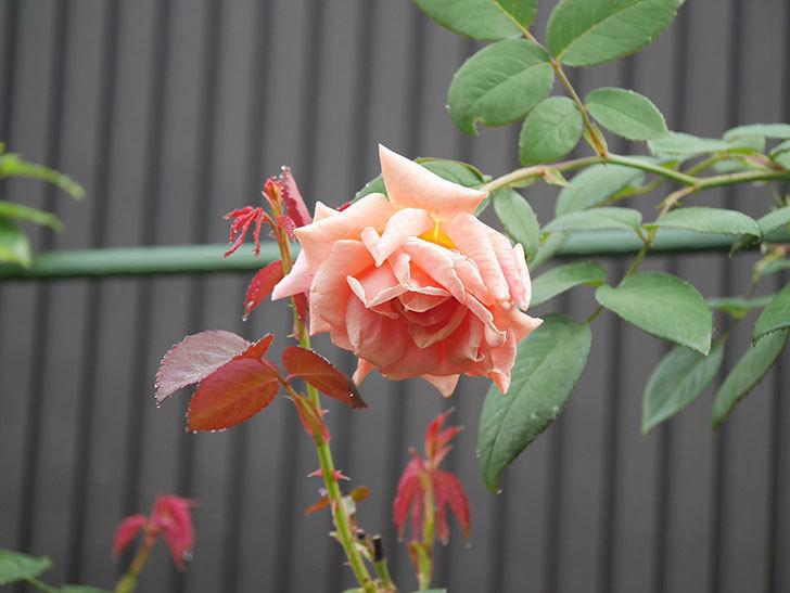 ロイヤルサンセット(Royal Sunset)の2番花が咲いた。ツルバラ。2020年-006.jpg