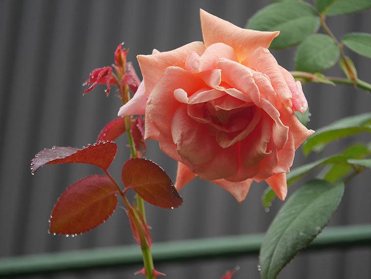 ロイヤルサンセット(Royal Sunset)の2番花が咲いた。ツルバラ。2020年-007.jpg