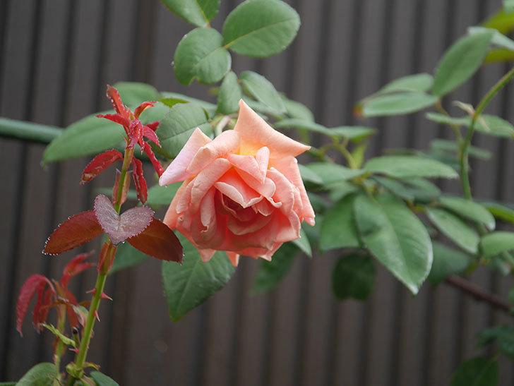 ロイヤルサンセット(Royal Sunset)の2番花が咲いた。ツルバラ。2020年-008.jpg