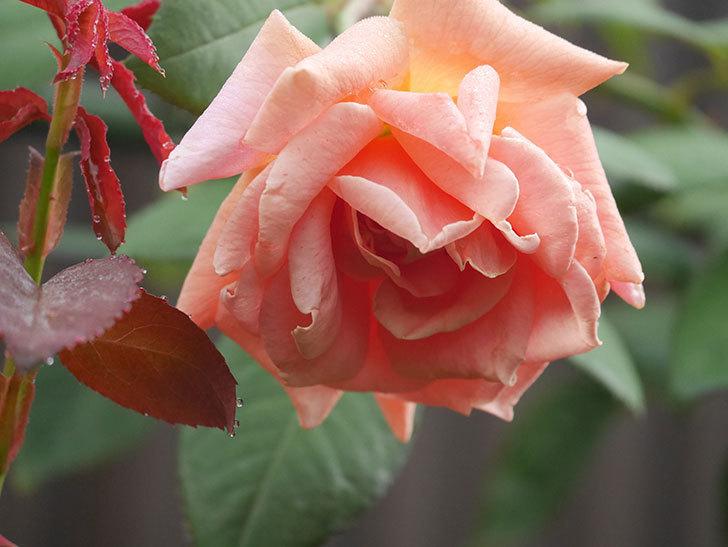ロイヤルサンセット(Royal Sunset)の2番花が咲いた。ツルバラ。2020年-009.jpg