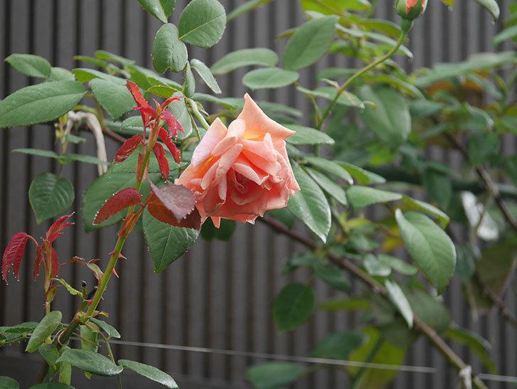 ロイヤルサンセット(Royal Sunset)の2番花が咲いた。ツルバラ。2020年-010.jpg