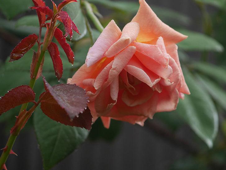 ロイヤルサンセット(Royal Sunset)の2番花が咲いた。ツルバラ。2020年-011.jpg
