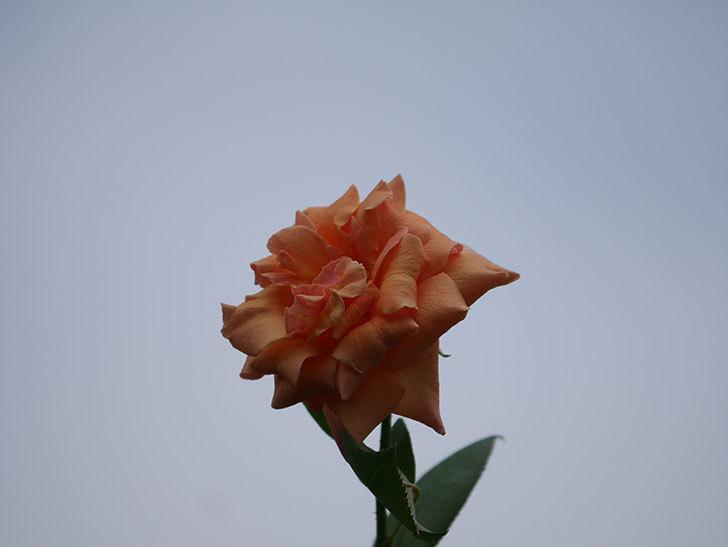 ロイヤルサンセット(Royal Sunset)の夏花がまた咲いた。ツルバラ。2020年-001.jpg