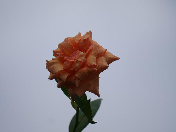 ロイヤルサンセット(Royal Sunset)の夏花がまた咲いた。ツルバラ。2020年-002.jpg