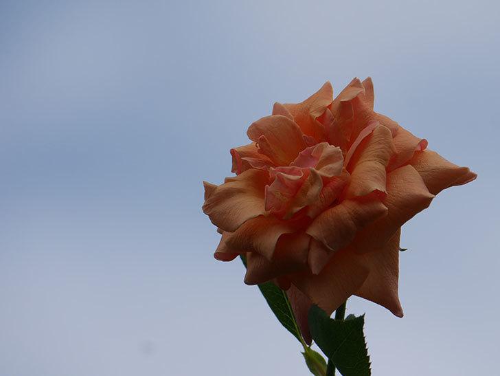 ロイヤルサンセット(Royal Sunset)の夏花がまた咲いた。ツルバラ。2020年-005.jpg