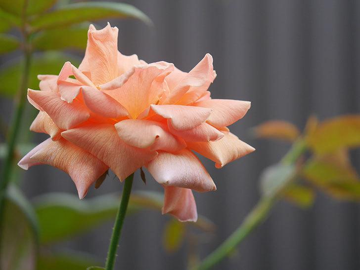 ロイヤルサンセット(Royal Sunset)の夏花が咲いた。ツルバラ。2020年-001.jpg