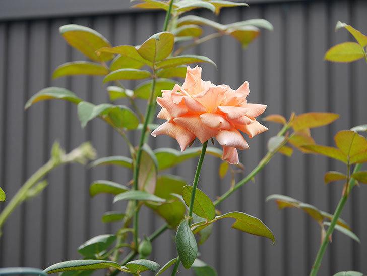 ロイヤルサンセット(Royal Sunset)の夏花が咲いた。ツルバラ。2020年-002.jpg