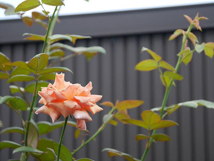 ロイヤルサンセット(Royal Sunset)の夏花が咲いた。ツルバラ。2020年-003.jpg