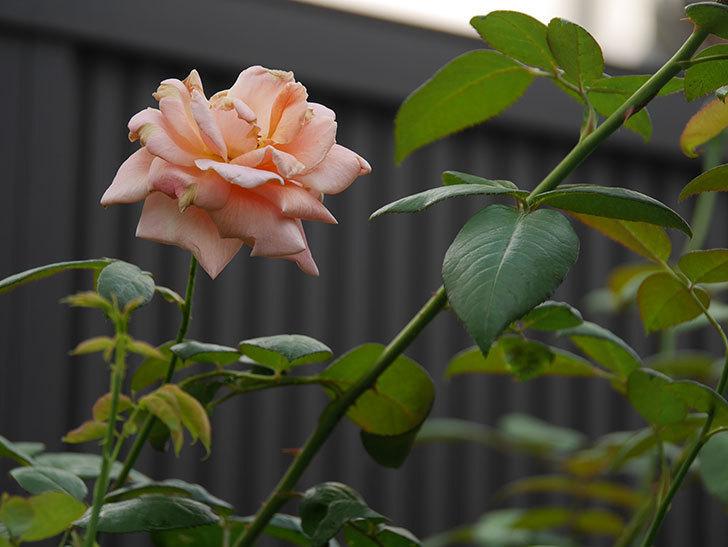 ロイヤルサンセット(Royal Sunset)の夏花が咲いた。ツルバラ。2020年-004.jpg