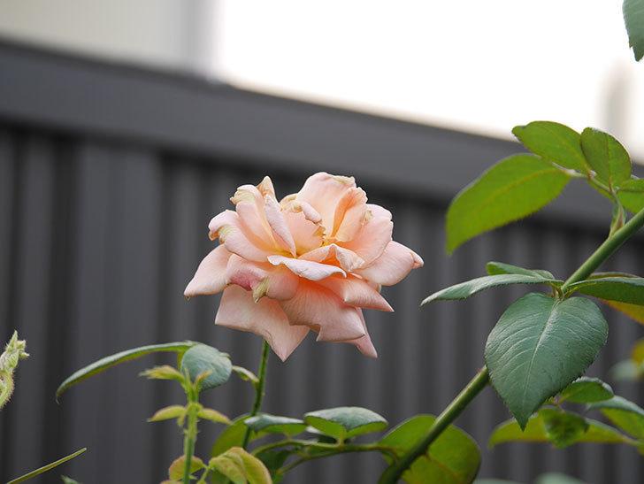 ロイヤルサンセット(Royal Sunset)の夏花が咲いた。ツルバラ。2020年-005.jpg