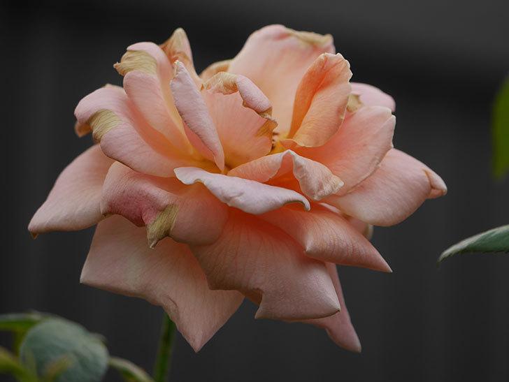 ロイヤルサンセット(Royal Sunset)の夏花が咲いた。ツルバラ。2020年-006.jpg