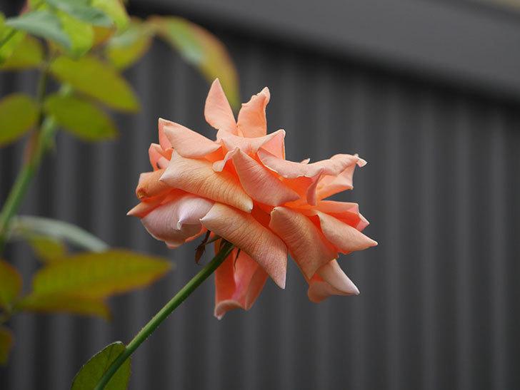 ロイヤルサンセット(Royal Sunset)の夏花が咲いた。ツルバラ。2020年-007.jpg