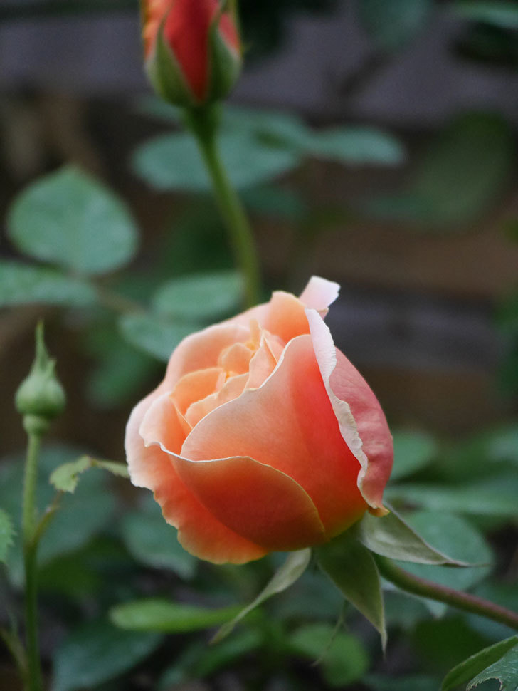ロイヤルサンセット(Royal Sunset)の花が咲いた。ツルバラ。2021年-005.jpg