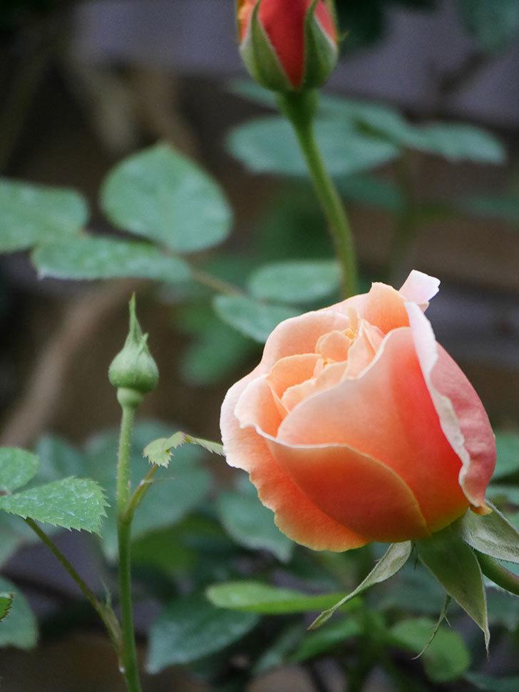 ロイヤルサンセット(Royal Sunset)の花が咲いた。ツルバラ。2021年-006.jpg