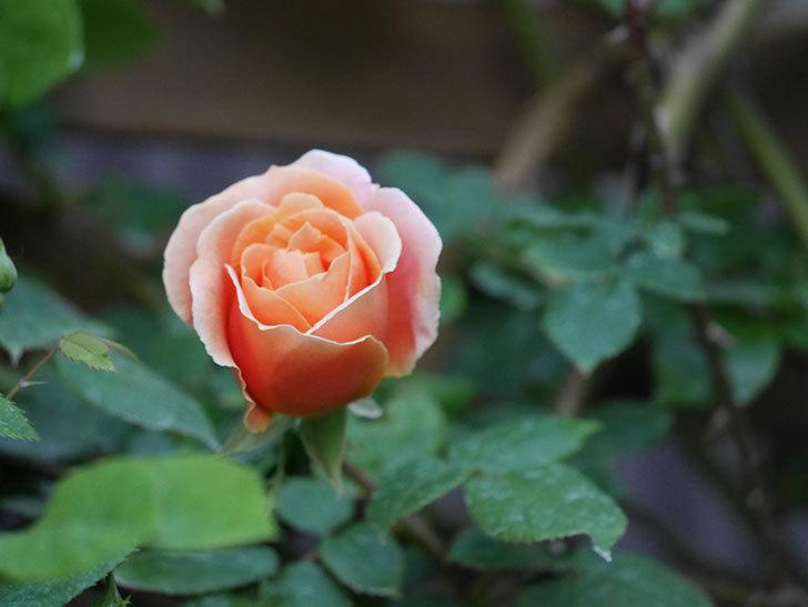 ロイヤルサンセット(Royal Sunset)の花が咲いた。ツルバラ。2021年-007.jpg