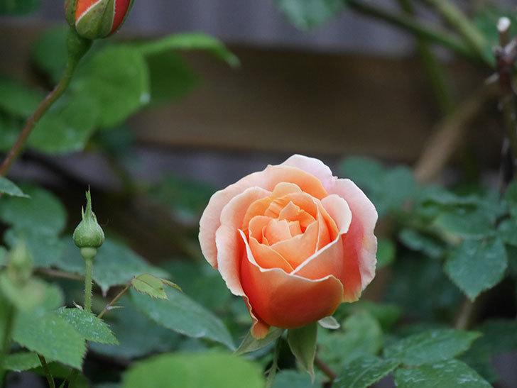 ロイヤルサンセット(Royal Sunset)の花が咲いた。ツルバラ。2021年-008.jpg
