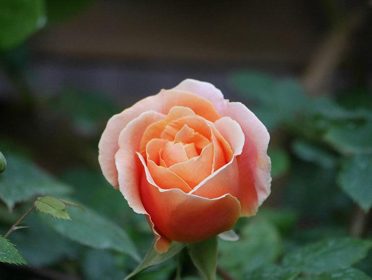 ロイヤルサンセット(Royal Sunset)の花が咲いた。ツルバラ。2021年-009.jpg