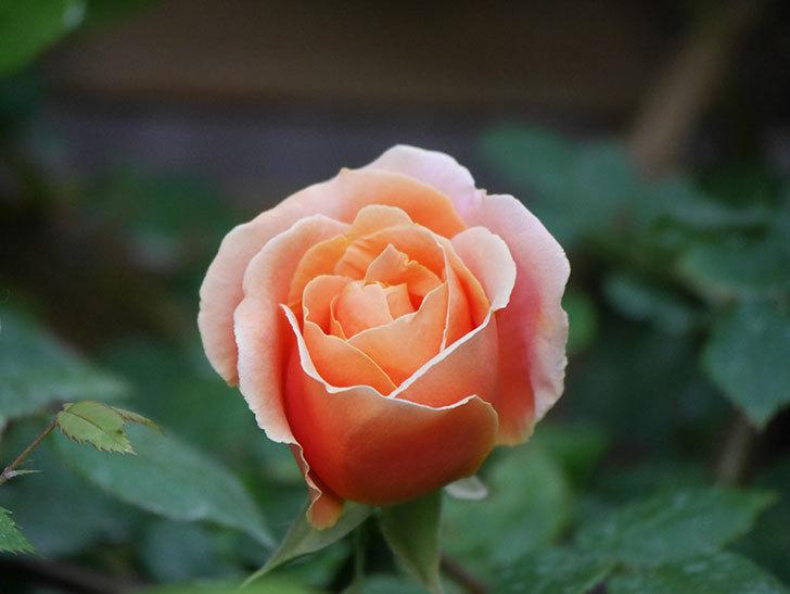 ロイヤルサンセット(Royal Sunset)の花が咲いた。ツルバラ。2021年-010.jpg