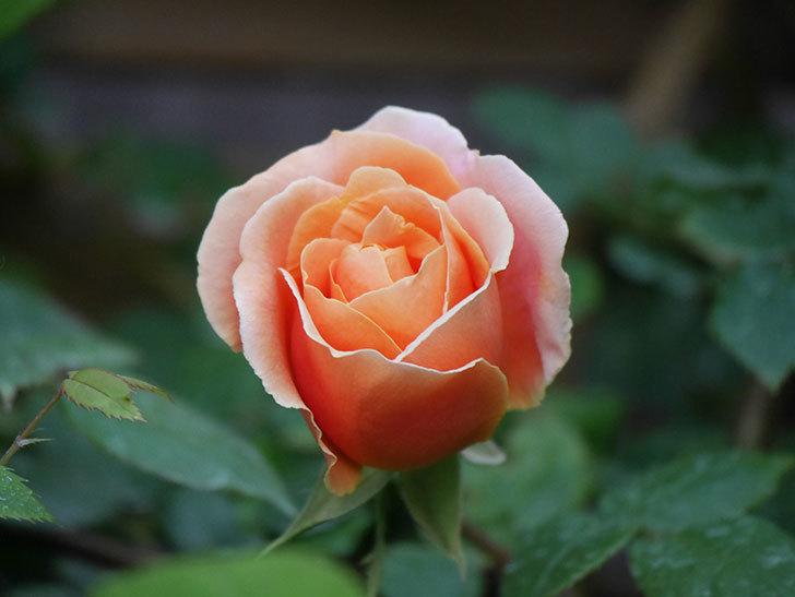 ロイヤルサンセット(Royal Sunset)の花が咲いた。ツルバラ。2021年-011.jpg