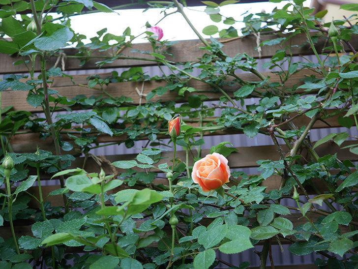 ロイヤルサンセット(Royal Sunset)の花が咲いた。ツルバラ。2021年-012.jpg