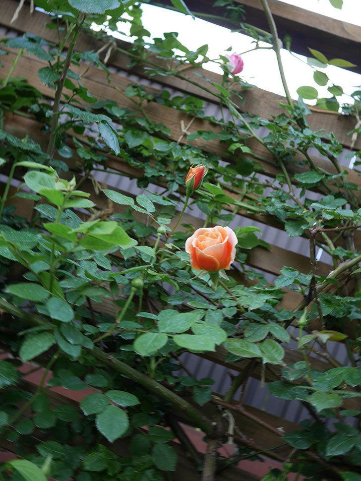 ロイヤルサンセット(Royal Sunset)の花が咲いた。ツルバラ。2021年-013.jpg