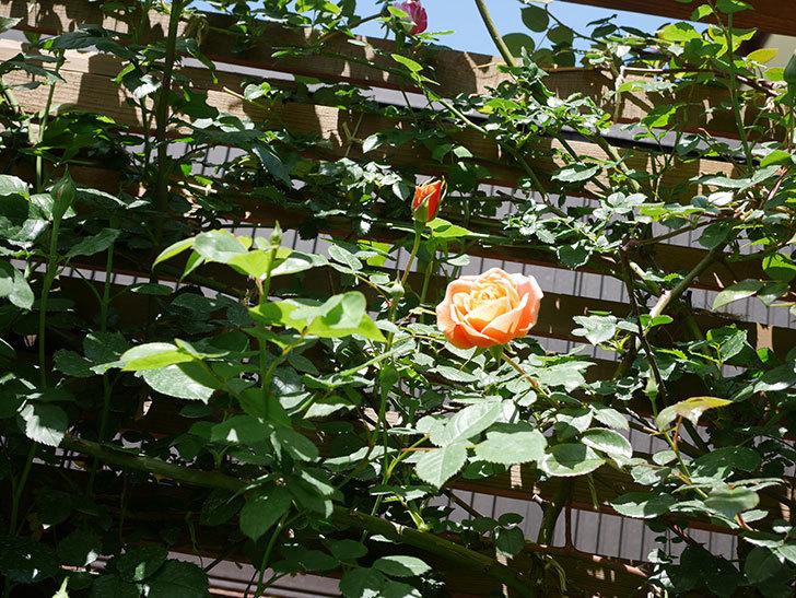 ロイヤルサンセット(Royal Sunset)の花が咲いた。ツルバラ。2021年-014.jpg