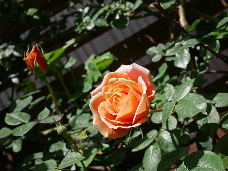 ロイヤルサンセット(Royal Sunset)の花が咲いた。ツルバラ。2021年-017.jpg