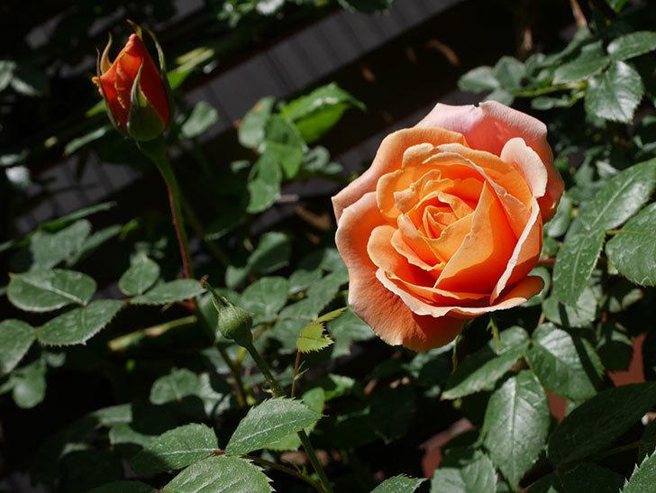 ロイヤルサンセット(Royal Sunset)の花が咲いた。ツルバラ。2021年-021.jpg