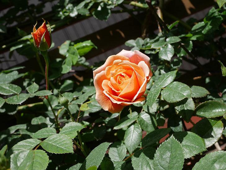 ロイヤルサンセット(Royal Sunset)の花が咲いた。ツルバラ。2021年-022.jpg