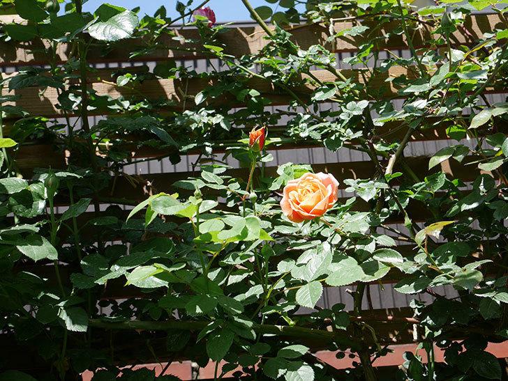 ロイヤルサンセット(Royal Sunset)の花が咲いた。ツルバラ。2021年-023.jpg
