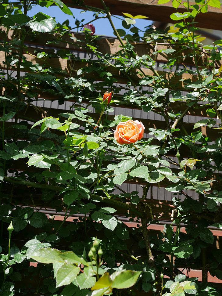 ロイヤルサンセット(Royal Sunset)の花が咲いた。ツルバラ。2021年-024.jpg