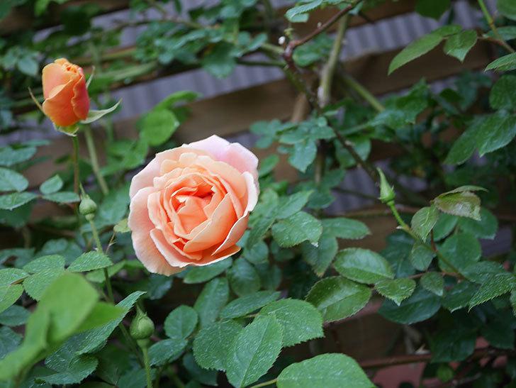 ロイヤルサンセット(Royal Sunset)の花が少しずつ増えてきた。ツルバラ。2021年-002.jpg