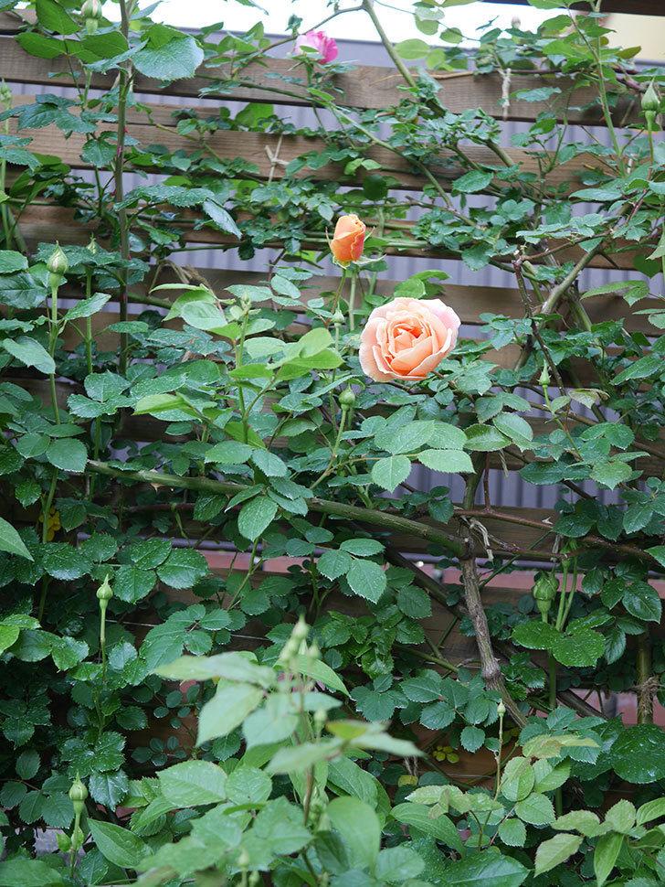 ロイヤルサンセット(Royal Sunset)の花が少しずつ増えてきた。ツルバラ。2021年-003.jpg