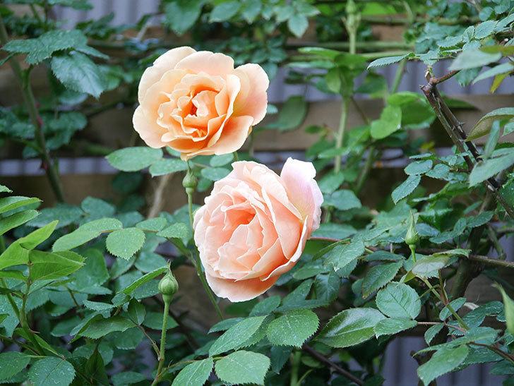 ロイヤルサンセット(Royal Sunset)の花が少しずつ増えてきた。ツルバラ。2021年-006.jpg