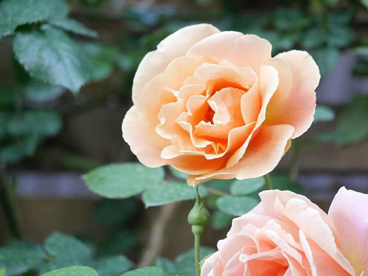 ロイヤルサンセット(Royal Sunset)の花が少しずつ増えてきた。ツルバラ。2021年-007.jpg