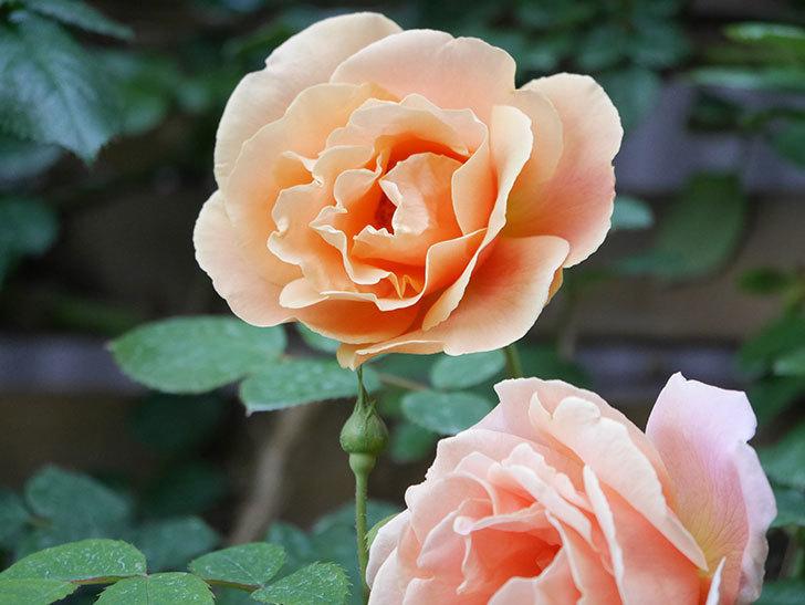 ロイヤルサンセット(Royal Sunset)の花が少しずつ増えてきた。ツルバラ。2021年-008.jpg