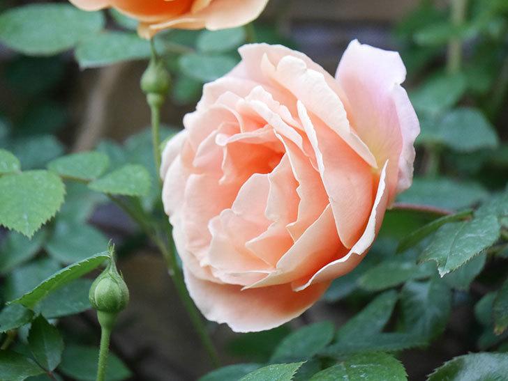 ロイヤルサンセット(Royal Sunset)の花が少しずつ増えてきた。ツルバラ。2021年-009.jpg