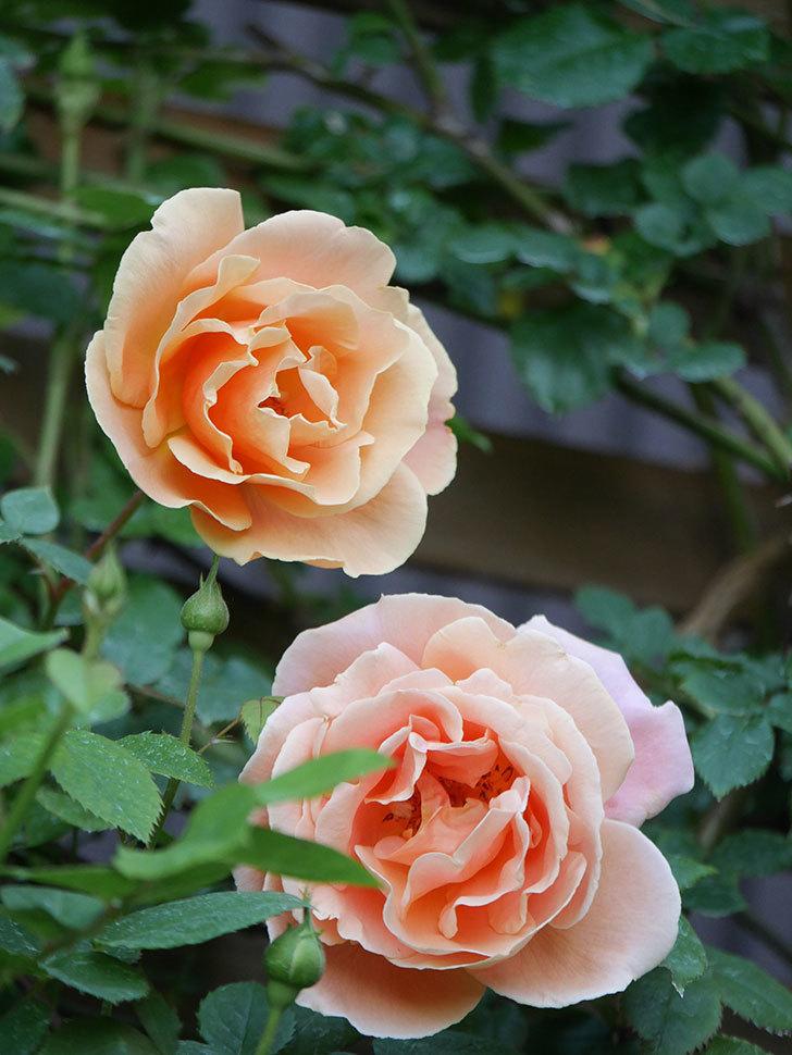 ロイヤルサンセット(Royal Sunset)の花が少しずつ増えてきた。ツルバラ。2021年-012.jpg