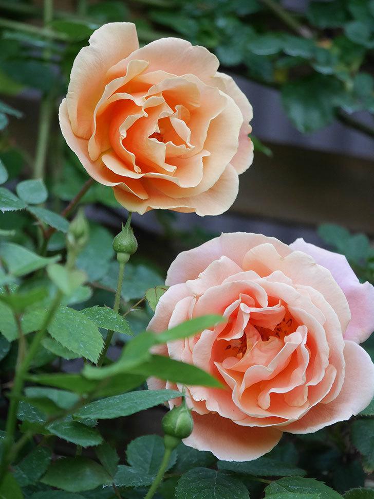 ロイヤルサンセット(Royal Sunset)の花が少しずつ増えてきた。ツルバラ。2021年-013.jpg